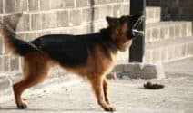 10 Reasons Your German Shepherd Training Can Fail