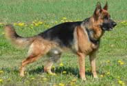 What You Should Know About The German Shepherd