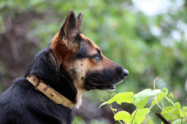 How Much Does A German Shepherd Cost?