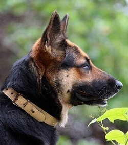 german shepherd price