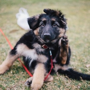 German Shepherd Cost