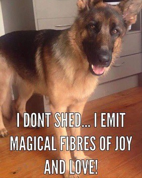 german shepherd shedding meme