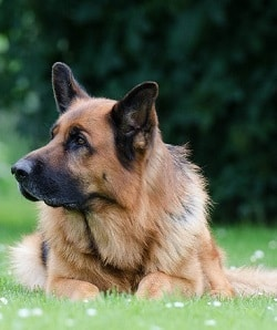 german shepherd temperament