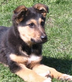 german shepherd training tips pdf